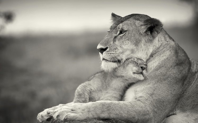 770153-animals-baby-animals-cubs-grayscale-lions-nature