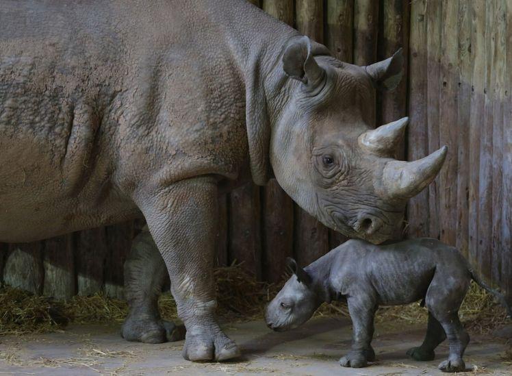 Black-Rhino-Fara